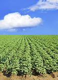 Potato field and sky Royalty Free Stock Photos