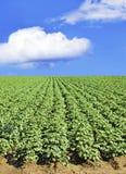 Potato field and sky Royalty Free Stock Photos