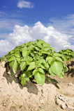 A Potato field with sky and cloud Stock Image