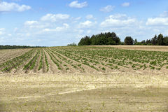 Potato field, spring Royalty Free Stock Images