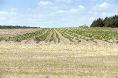 Potato field, spring Royalty Free Stock Photos