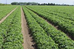 Potato field Suffolk England UK. Potato field in Suffolk England Stock Photo