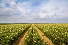 Potato field in summertime. A field of potato crops in the summer royalty free stock photos