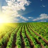 Potato field on a sunset. Under blue sky landscape Royalty Free Stock Photo