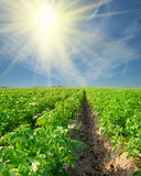Potato field on Royalty Free Stock Photos