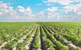 Potato field under beautiful sky.  Royalty Free Stock Images