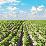 Potato field under beautiful sky.  Royalty Free Stock Image