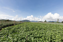 Potato field in vietnam Royalty Free Stock Photo