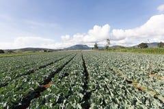 Potato field in vietnam Stock Images