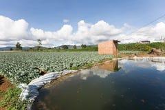 Potato field in vietnam Stock Photo
