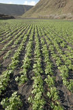 Potato field in volcanic soil, Lanzarote Royalty Free Stock Image