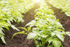 Potato field. Young green sprouts of potatoes in sunny day. Potato field. Young green sprouts of potatoes in sunny day Stock Image