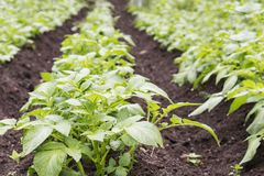 Potato field. Young green sprouts of potatoes in sunny day. Potato field. Young green sprouts of potatoes in sunny day Royalty Free Stock Image