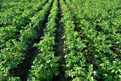 Potato fields Royalty Free Stock Photography