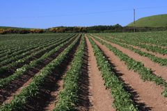 Potato fields. Line of Potato in fields on Anglesey Stock Photography