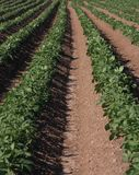 Potato fields. Line of Potato in fields on Anglesey Stock Images
