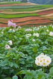 Potato fields with colourful terraced fields Royalty Free Stock Photos