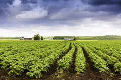 Potato Fields Forever Stock Photography