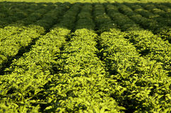 Potato fields. Rows of potato plants in an agricultural field royalty free stock images