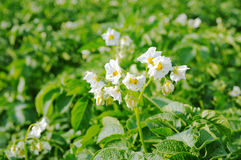 Potato flower. On a green background Stock Photo