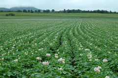 Potato Flower. S in the field Stock Photo