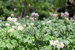 Potato flower agriculture Stock Image