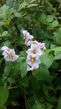 Potato flower Royalty Free Stock Image