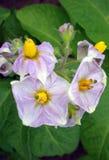 Potato flower bud. View on potato flower bud Stock Photos