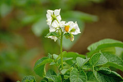 Potato flower Royalty Free Stock Photography