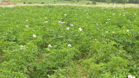 Potato Flower Culture stock video