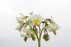 Potato flower. Isolated potato flower on white Royalty Free Stock Photo