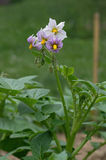 Potato Flower Stock Image