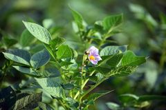 Potato flower with plant and leaves. The potato is a starchy, tuberous crop from the perennial nightshade Solanum tuberosum. The word `potato` may refer either royalty free stock photos