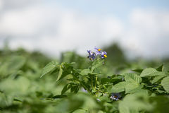 Potato flower Stock Photography