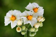 Potato flower Stock Images