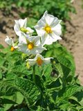 Potato flowers. Potato plant with white flowers on the vegetable bed Royalty Free Stock Photo