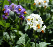 Potato flowers Stock Image