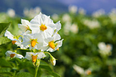 The potato flowers Royalty Free Stock Photos