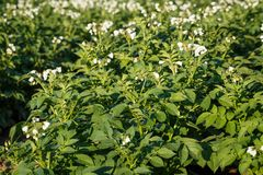 Potato flowers blooming in the field. Field with flourishing potato plants Solanum tuberosum Stock Image