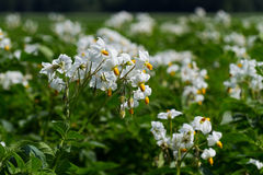 Potato flowers. A field of potato plants in early summer: lots of white flowers Royalty Free Stock Image