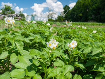 Potato flowers in the field Royalty Free Stock Image