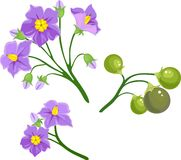 Potato flowers Royalty Free Stock Images