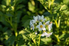 Potato flowers in the middle of the field on a sunny summer day stock photos