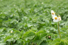 Potato flowers and potato beetle Royalty Free Stock Photo