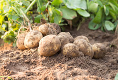 Potato Royalty Free Stock Images