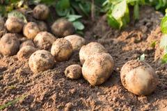 Potato. Freshly dug potatoes on a field Stock Photography