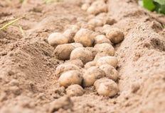 Potato. Freshly dug potatoes on a field Stock Photos