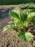 Potato. Garden spring park green plant bio culture vegetation vegetables   potato stock photography