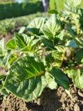 Potato. Garden spring park green plant bio culture vegetation vegetables   potato royalty free stock image