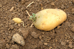 Potato germinating Royalty Free Stock Photo